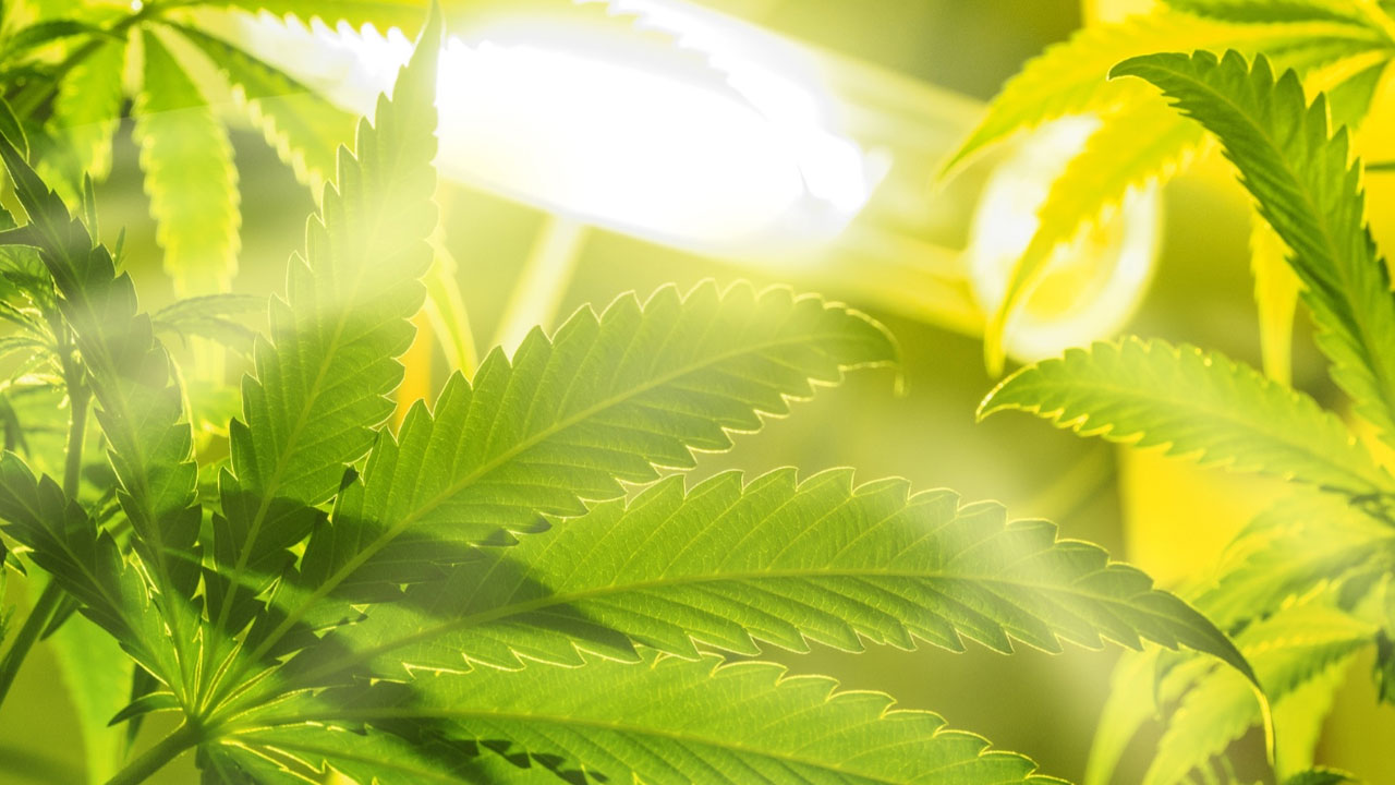 Recomendaciones para el cultivo con iluminación LEC